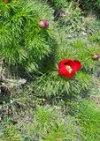 Red flower on the fir bush. Closeup flowering fir.  royalty free stock photography