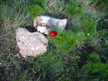 Red flower on the fir bush near stones. Closeup flowering fir stock photography