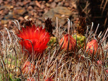 Red flower on Fishhook Barrel Cactus. Royalty Free Stock Photo