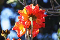 Red Flower floral tree in Cape town, South Africa Stock Photography