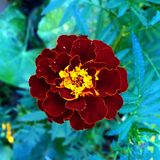 The red flower. Flowers is beautiful Royalty Free Stock Images