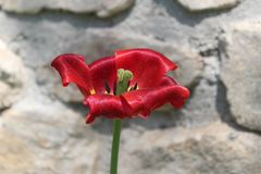 Red flower in front of stones Stock Image