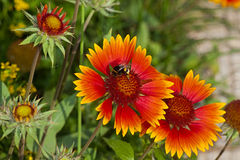 Red flower Gaillardia. Red  flower Gaillardia in the garden around Moscow Stock Images