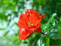 Red flower in garden Royalty Free Stock Photo