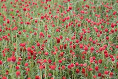 Red Flower garden Royalty Free Stock Photography