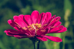 Red flower in the garden Stock Photography