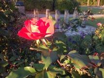 Red flower in the Garden Stock Photo