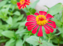Red flower in the garden Royalty Free Stock Images