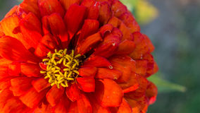 Red flower. Red garden flower. Easy to look for it and has this wonderful colors stock photography