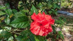 Red flower. Flower of the garden Panam Royalty Free Stock Photography