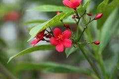 Five petals Flower in garden stock photography