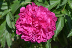 Red flower of a garden peony Royalty Free Stock Image