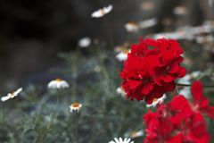 The red flower in the garden royalty free stock image
