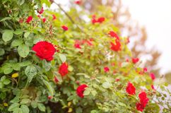 Red flower garden rose grows a large bush in the garden, close-up, celebration stock photos