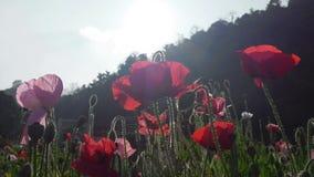 Red flower garden sunrise stock footage