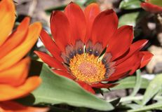 A red flower. A red Gazania Stock Image