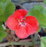Red flower Geranium. In the garden royalty free stock image
