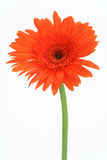 Red flower gerbera. On a blue background Stock Images
