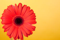 Free Red Flower Gerbera Stock Photography - 17886392