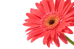 Red flower gerbera Royalty Free Stock Images