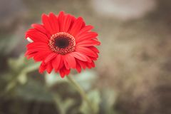 Red flower gerbera large size stock images
