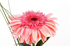 Red flower gerbera on white background Royalty Free Stock Photos