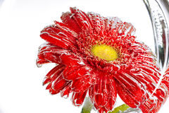 Red flower of a gerbera on a white background Stock Photography
