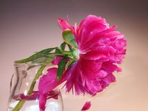 Flower in glass, still life. Red flower in glass, still life on the white background royalty free stock photography