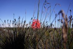 Red flower in the grass. Flower with grass in the field Royalty Free Stock Image