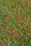 Red flower on grass Royalty Free Stock Image