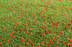 Red flower on grass Stock Images