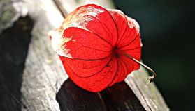 Red Flower on Gray Wooden Plank Stock Photo