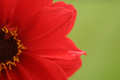 Red Flower, Green Background Royalty Free Stock Photo