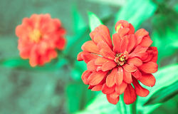 Red flower. On green background, focus on single flower foreground and low depth of field Stock Photos