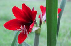 Red flower and green background royalty free stock photo