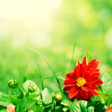Red flower with green buds Stock Photography