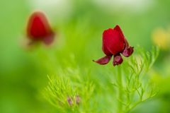 Red flower in a green grass field. Natural floral vintage background Royalty Free Stock Photo