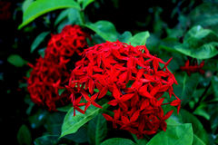 Red flower with green leaf. In park, Thailand Royalty Free Stock Photography