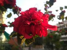 Red flowers with green leafs royalty free stock images