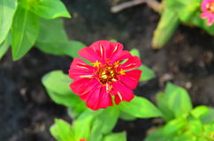 Red flower. With green leaves in the garden Stock Image