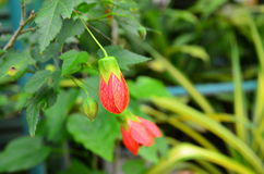 Red flower. And green leaves in the garden Stock Images