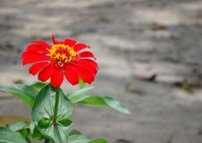 Red flower on the green leaves HD wallpaper background. With the blured background royalty free stock photos