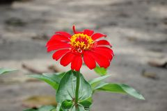 Red flower on the green leaves HD wallpaper background. With the blured background royalty free stock image