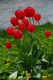 Red flower and green leaves, tulip, Liliaceae. Red flower and green leaves in the garden, tulip, Liliaceae royalty free stock image