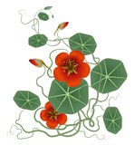 Red flower and green lotus leaves Royalty Free Stock Images