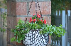 Red Flower with white pots stock photo