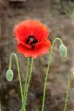 Red Flower, Green Velvety Buds Royalty Free Stock Image