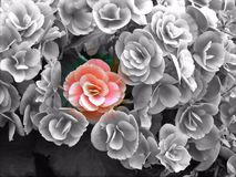 Red flower among greyscale flowers. One colored rose stands out from the crowd of black and white roses Stock Photos