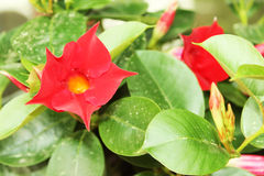 Red flower growing between leaves. Outside on a sunny day in europe Royalty Free Stock Photo