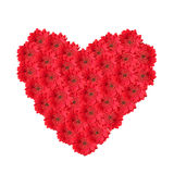 Red flower heart made of gerber daisies. Isolated on white Royalty Free Stock Image